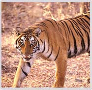 Tiger in Ranthambhore National Park