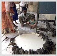 A Devotee offering milk to Rats at Karni Mata Temple