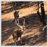 Red spotted deer in Sariska National Park