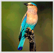 Indian Roller Perched Coracias Benghalensis, Keoladeo Ghana National Park