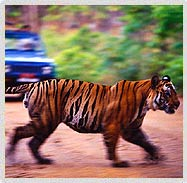 Tiger Behind leafs, Ranthambore National Park